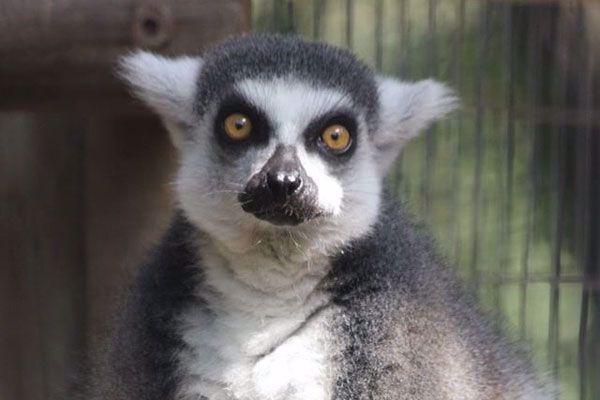 The lemurs are so cute
