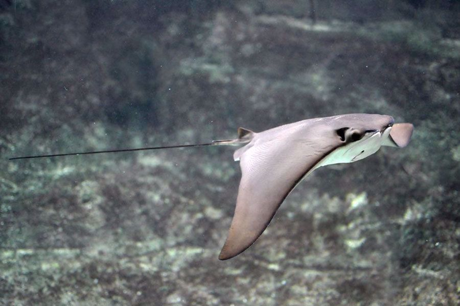 Shark and ray feedings